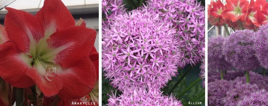 amaryllis and allium wedding flowers